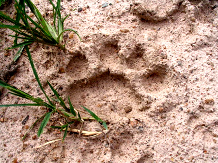 Photo a lion's paw print.